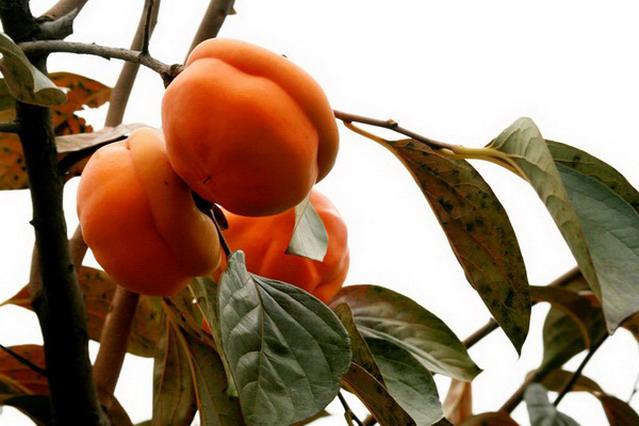 柿子彩铅画步骤